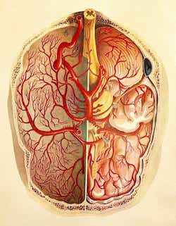 A posterior view of the human brain