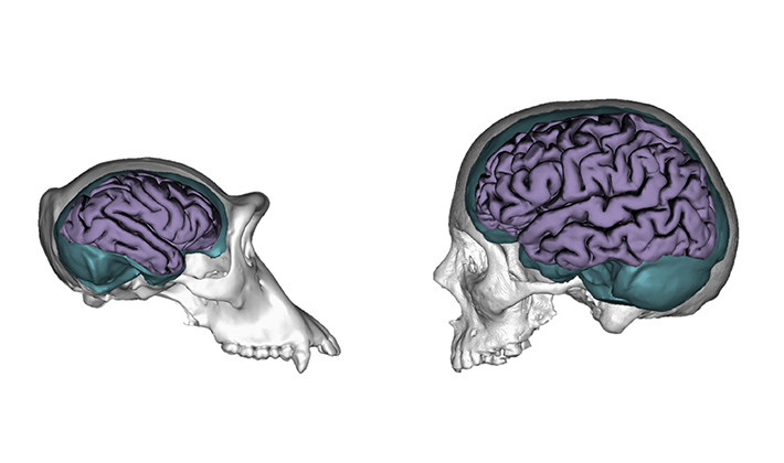 Aida Gómez-Robles studied human and chimpanzee brains to compare brain size and organization. Photo credit: William Atkins/Georg