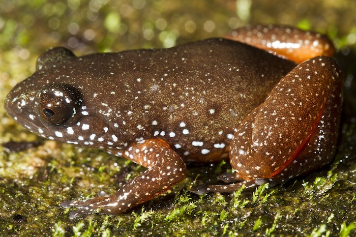 Astrobatrachus kurichiyana, also known as the Starry Dwarf Frog