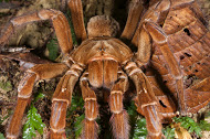 Fun fact: Some tarantulas can live up to 25 years in captivity