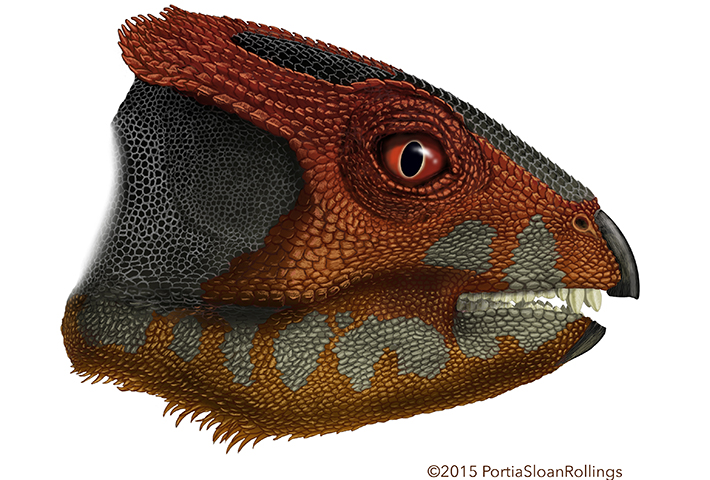 Triceratops Gets A Cousin  Researchers Identify Another Horned ... 08d179d03c3