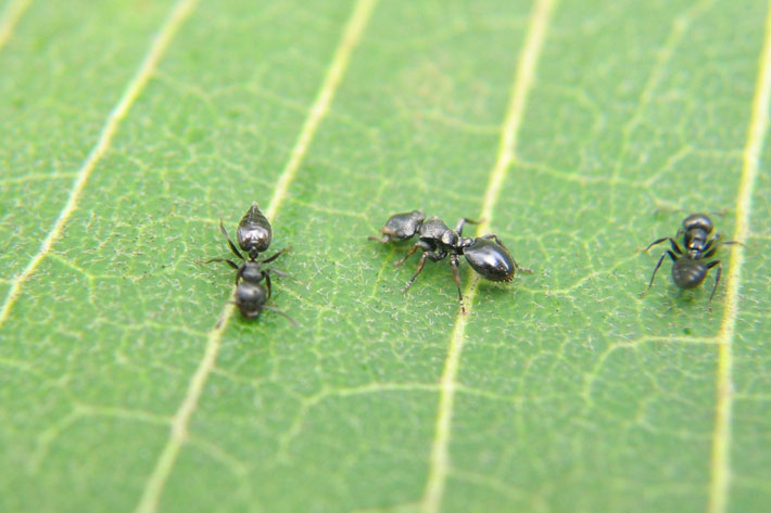 Ants on a leaf.