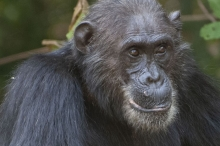 Frodo, a chimpanzee from Gombe National Park
