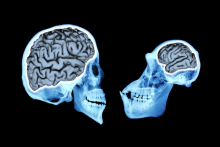 Modern humans (left) have brains that are more than three times larger than our closest living relatives, chimpanzees (right)