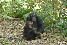 Chimpanzee Fathers Bia Their Behavior Toward Their Offspring