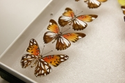 "Dr. Arnaud Martin and a team of scientists have found a ""painting gene"" that influences the pattern and evolution of butterfly w"