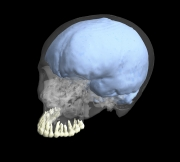 3D reconstruction of a modern human cranium showing the teeth and endocranial cast